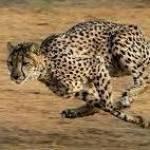 Cheetah Run Profile Picture